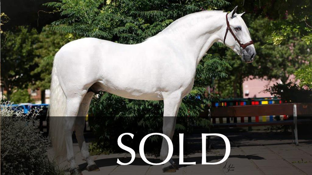 Grey PRE Horse Ideal Stallion. Cod 5787