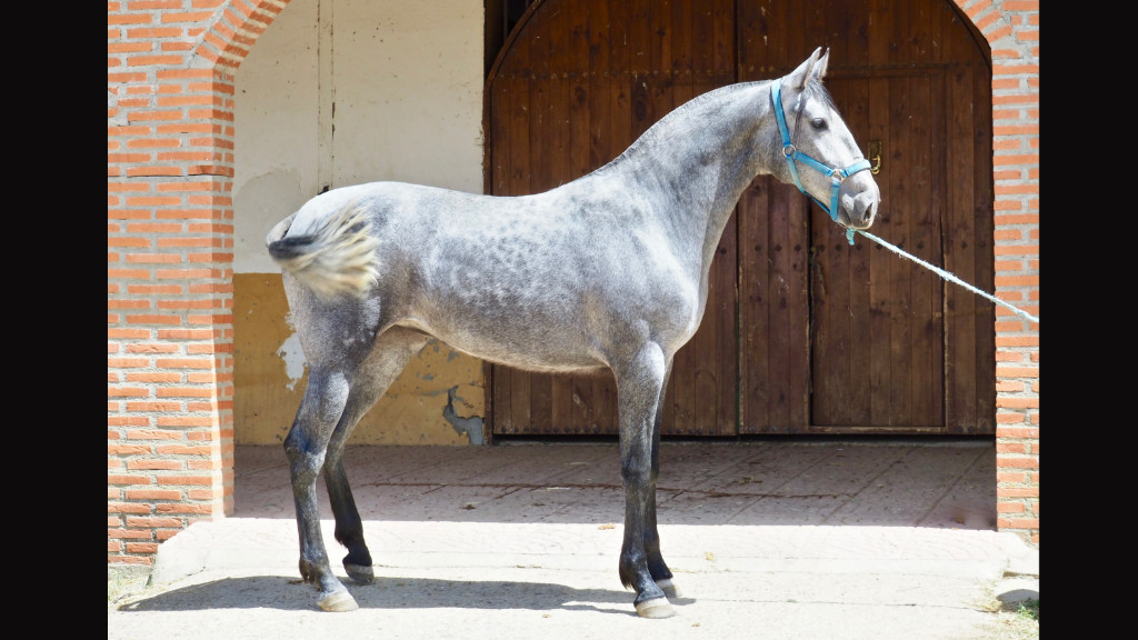 Beautiful pre filly for morphological show for sale. Cod 6445