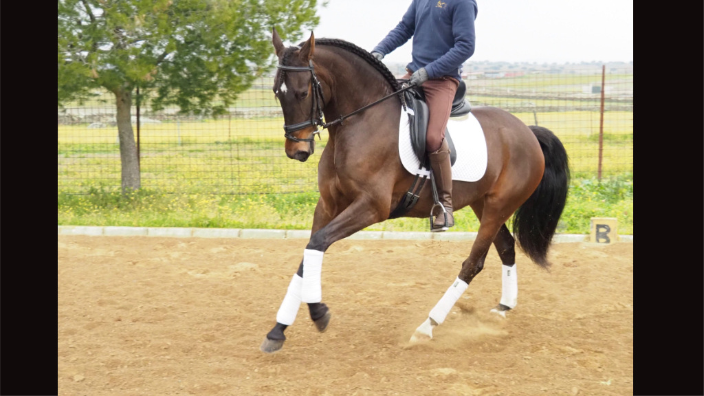 Spanish Brown Mare very expressive  for sale. Cod 6441