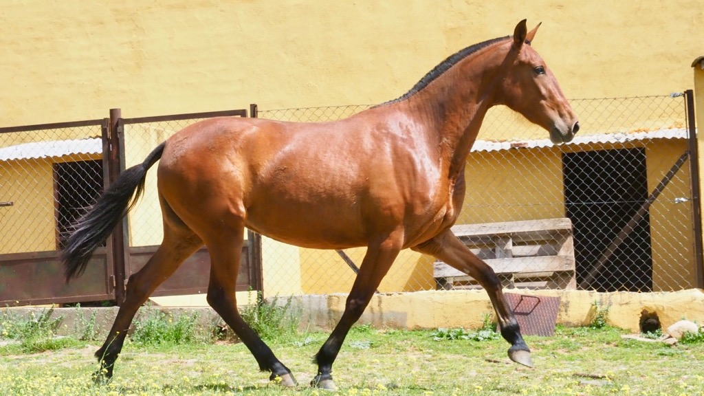 Filly PRE 3 yo for Morphological shows. Cod 5686