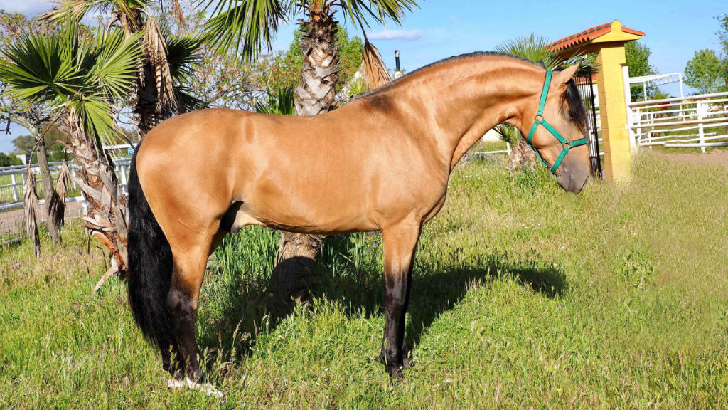 Buckskin PRE Horse high quality for sale.Cod 5830