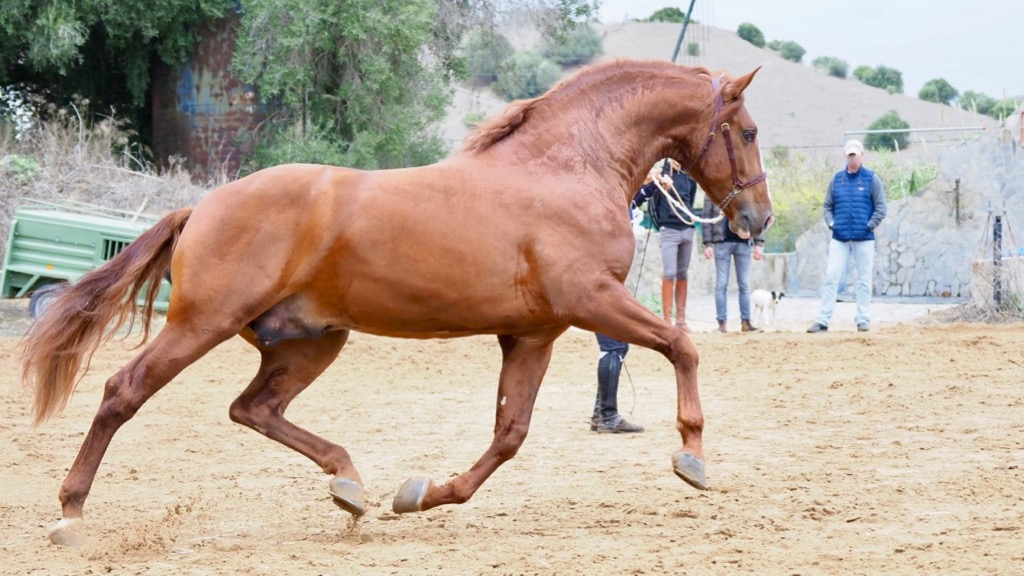 Chestnut Andalusian Horse with Piaffe and Passage. Cod 8054