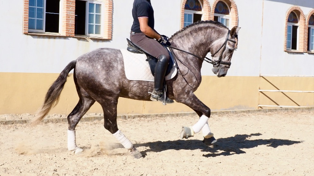 Grey Andalusian Horse with good origins. Cod 8083