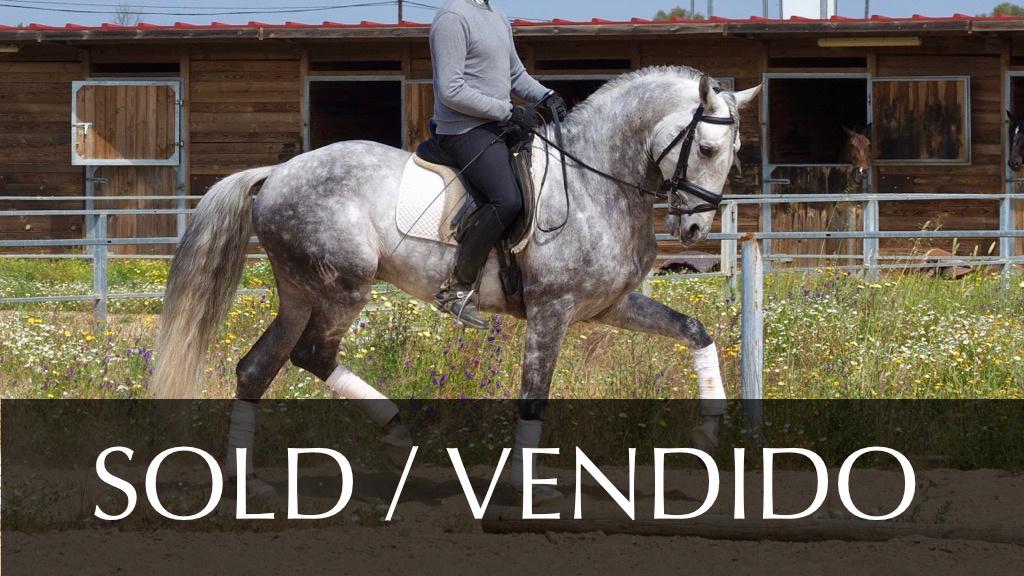 Grey Lusitano Horse Grand Prix for sale. Cod 7531