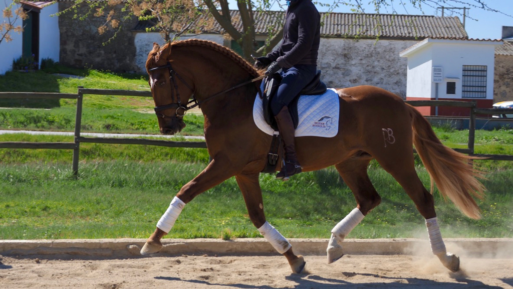 grand prix pre horses for sale