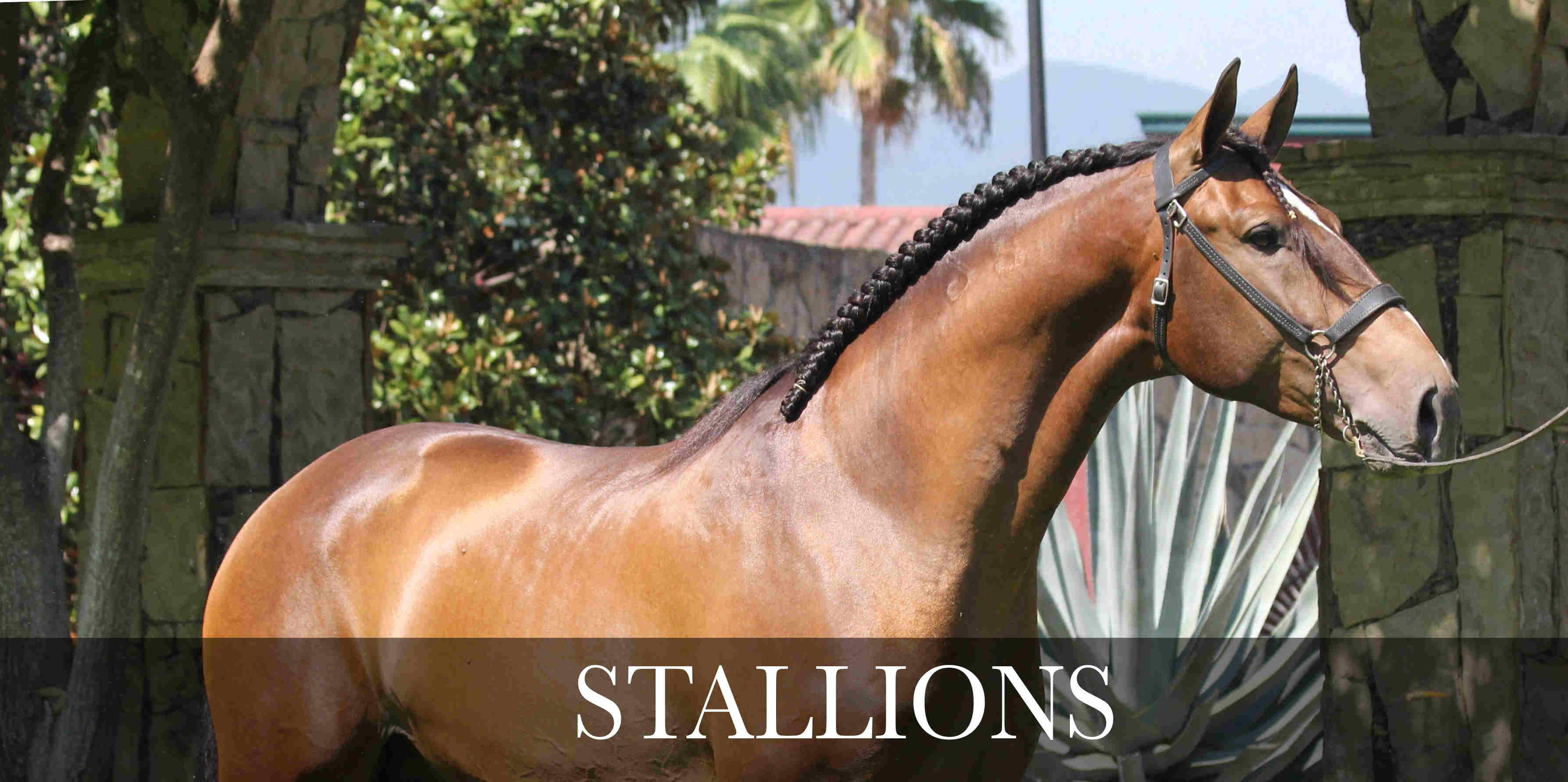 stallions pre and psl horses for sale