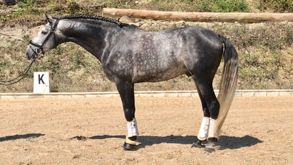 Grey Lusitano Horse with good character.Cod 8297