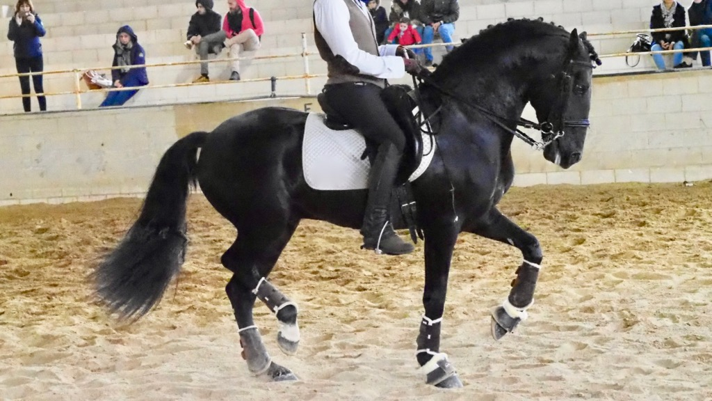 Black Lusitano Horse son of Verdadeiro with piaffe and passage. Cod 8251.
