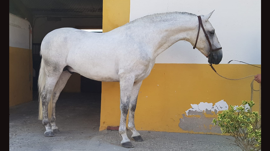 Beauty Andalusian Horse for pleasure. Cod 8388