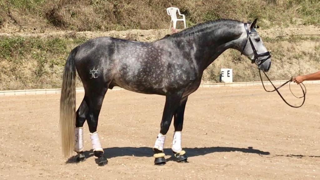 lusitano horses for sale