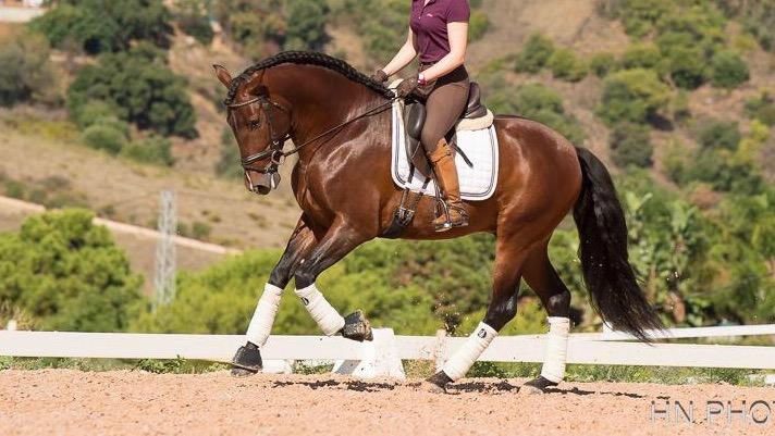 Brauner andalusisches Pferd piro frei. Cod 8418
