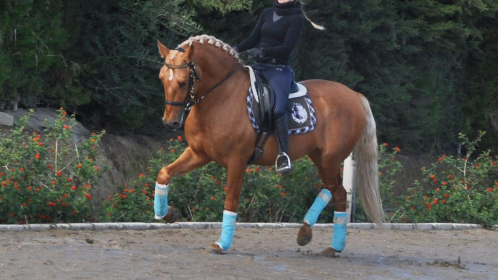 Palomino Andalusian Horse Bloodlines Paco Martí. Cod 9001