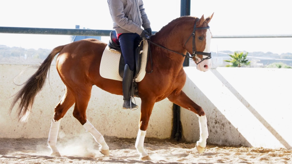 Chestnut 4 legs white Lusitano Horse for sale. Cod 9582