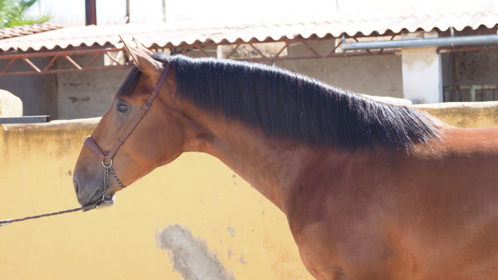Andalusian Colt for Morphological Shows for sale. Cod 9461