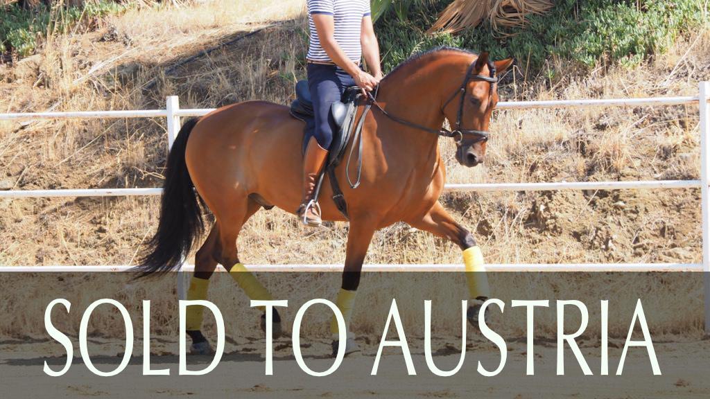 Wallach andalusisches Pferd piro frei. Cod. 9219