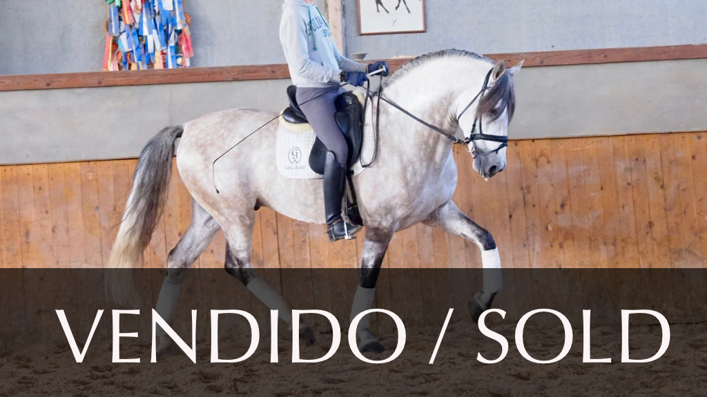 Schimmel Andalusier Pferd 170 cm piro  frei. Cod 10802