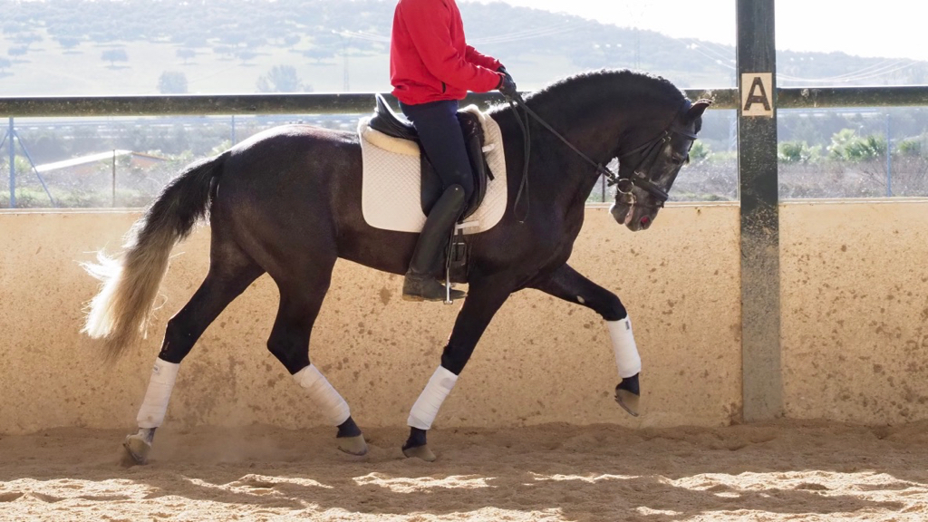 Exceptional Andalusian Grey Horse for dressage. Cod 9554