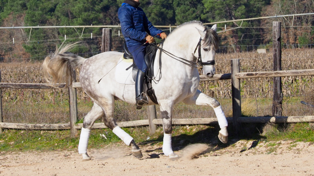 Andalusian Horse with good movements and race. Cod 9441