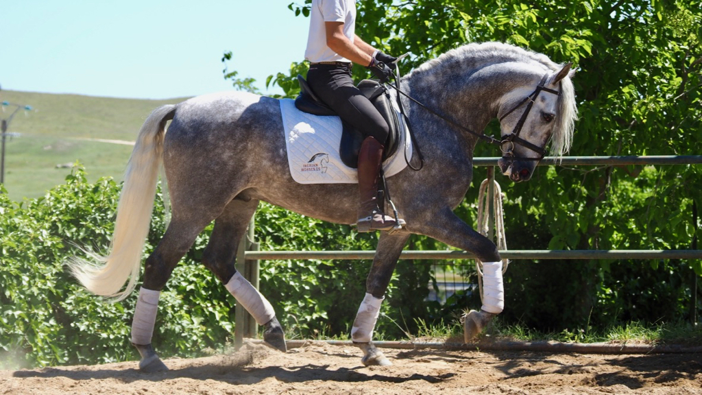 Grey Andalusian Horse son of qualifiers parents piro free. Cod. 9411