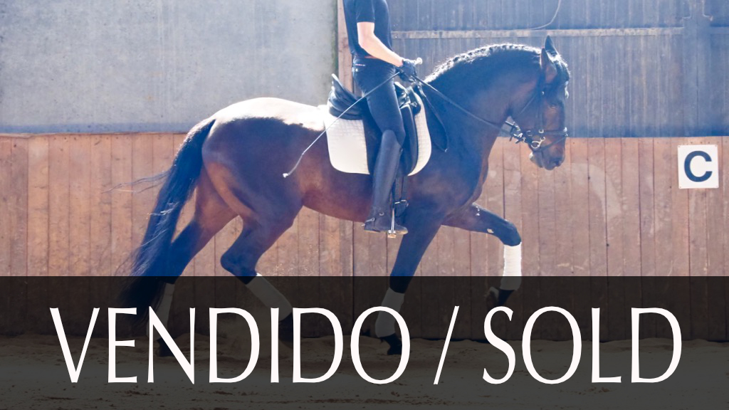Bay Andalusian Horse with future for dressage. Cod. 10614