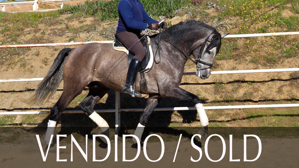 Andalusian Horse for dressage for sale. Cod 9488