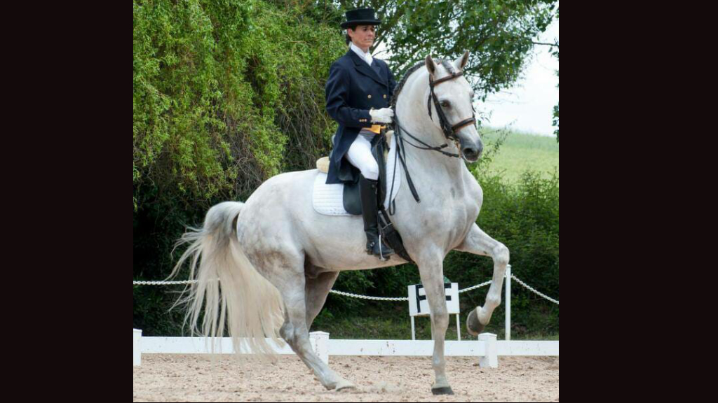 Luso-Árabe Horse hight level and very easy. Cod 10155