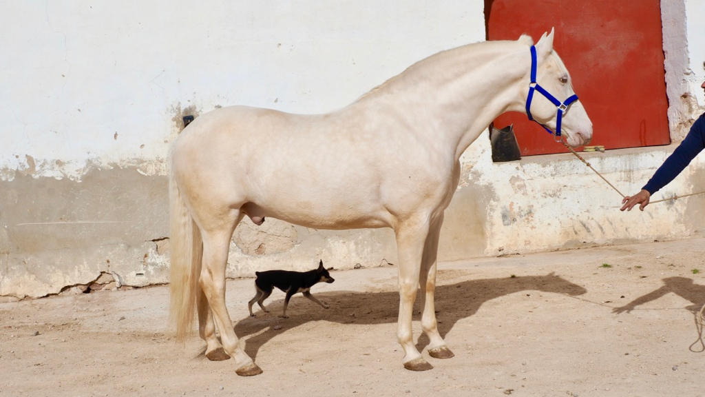Perlino Andalusian Stallion with Paco Martí brand. Cod 9876