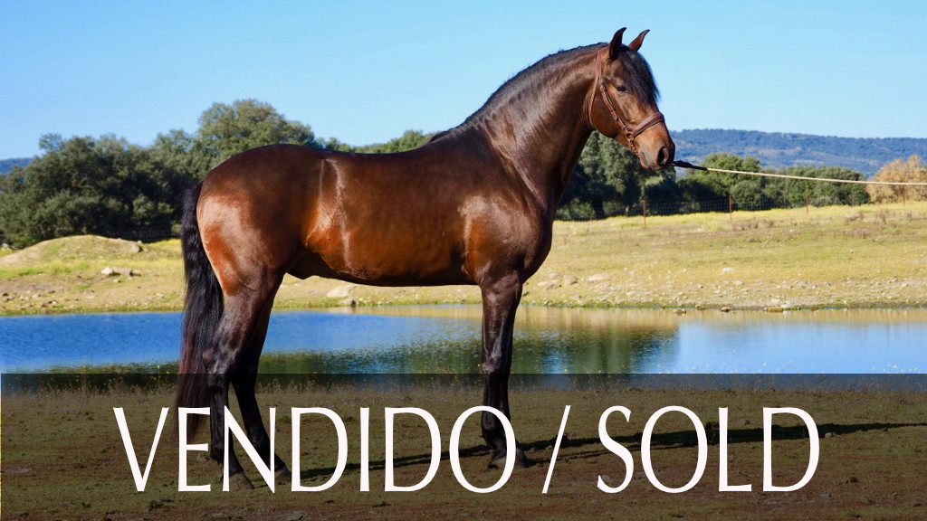 Andalusian Horse with future for dressage.Cod 9253