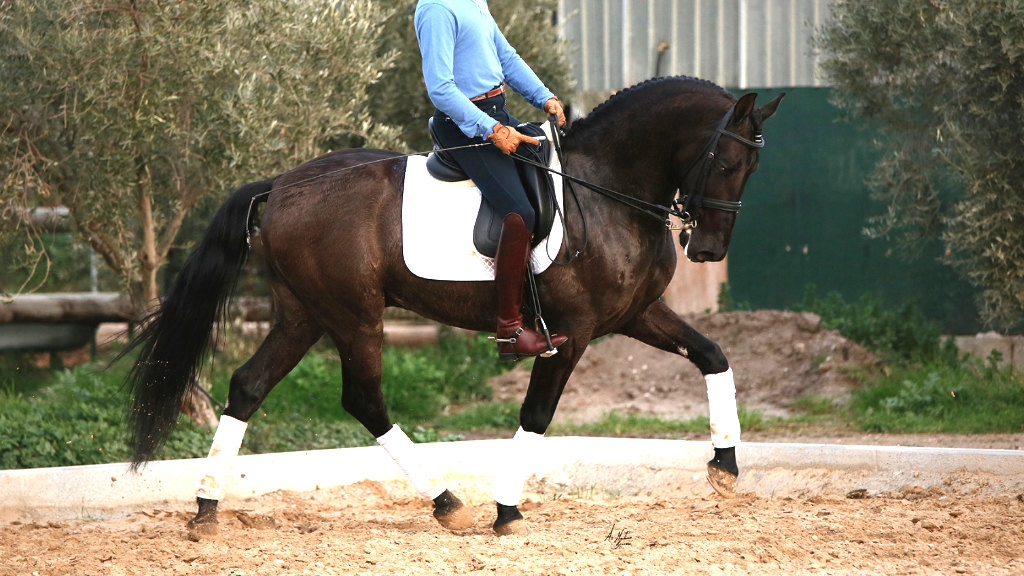 Black Andalusian Horse with piaffe piro free.Cod 9895