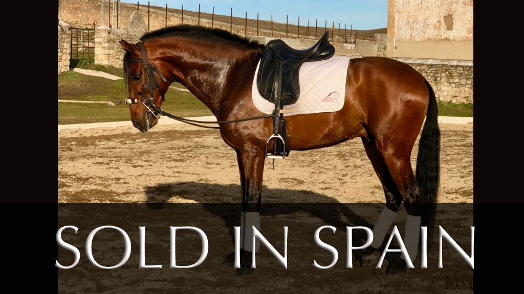 Bay Andalusian Horse for sale. Cod 9790