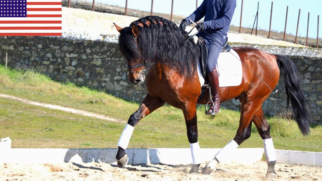 Beauty Bay PRE Horse Piro free. Cod 9118
