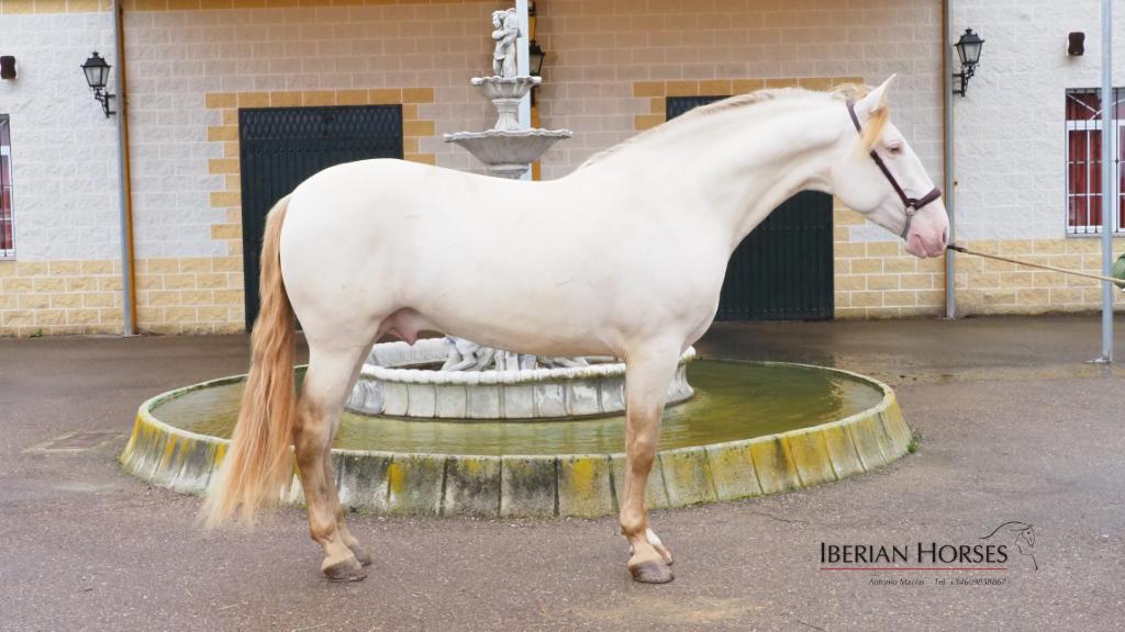Perlino Stallion with PRL at Stud. Cod 10089