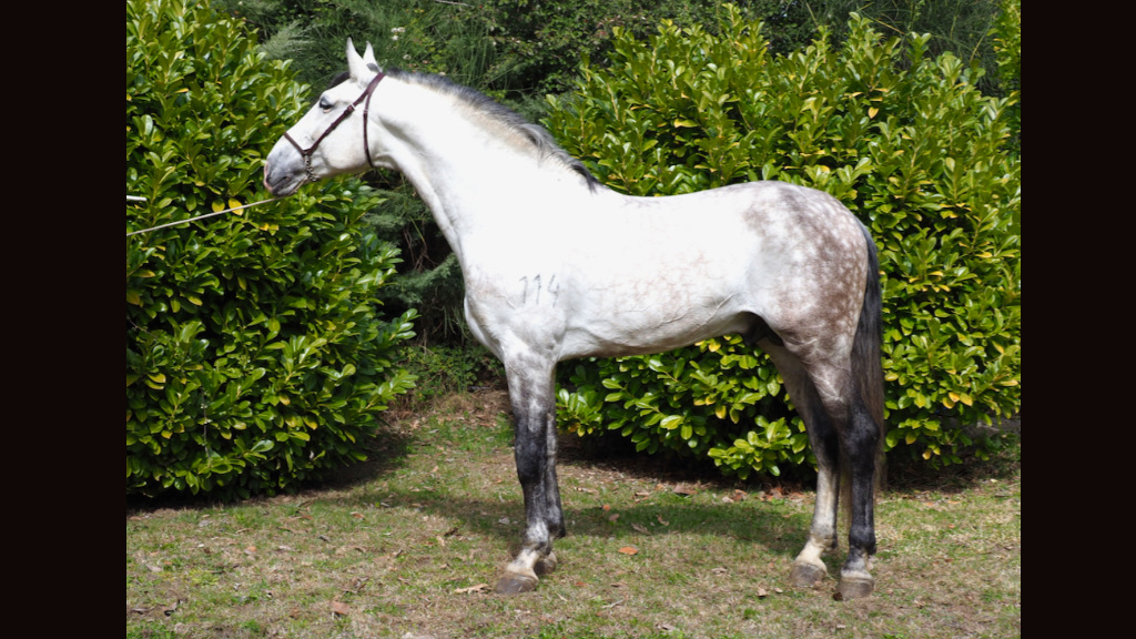 lusitano horses for sale