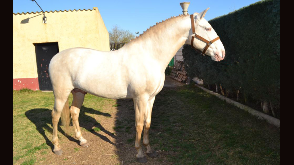Perlino Lusitano Horse good quality. Cod 10484