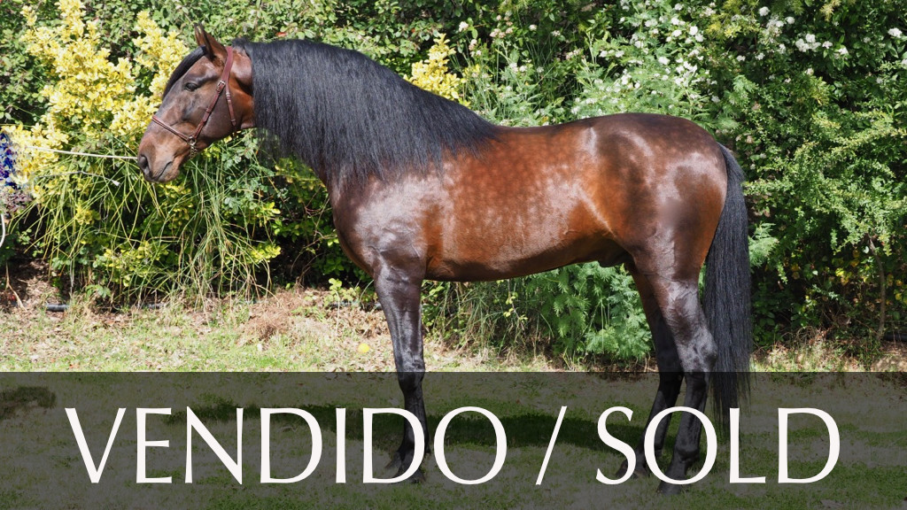 Bay Andalusian Horse grandson of Trovador IX. Cod 10288