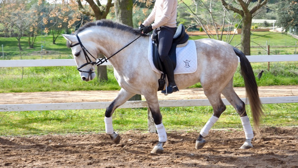 Grey Elegant Andalusian horse for dressage. Cod 10322