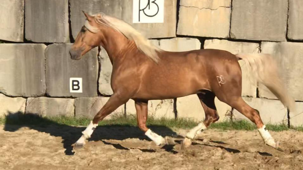 Andalusian Palomino Horse very good movements. Cod 10549