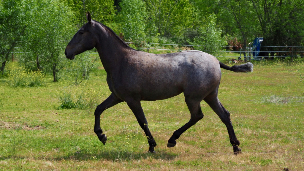 pre horses for sale