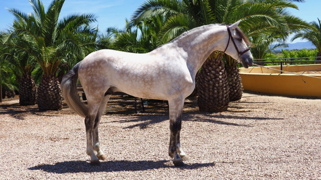 Andalusian Stallion with the Granda brand. Cod 11350