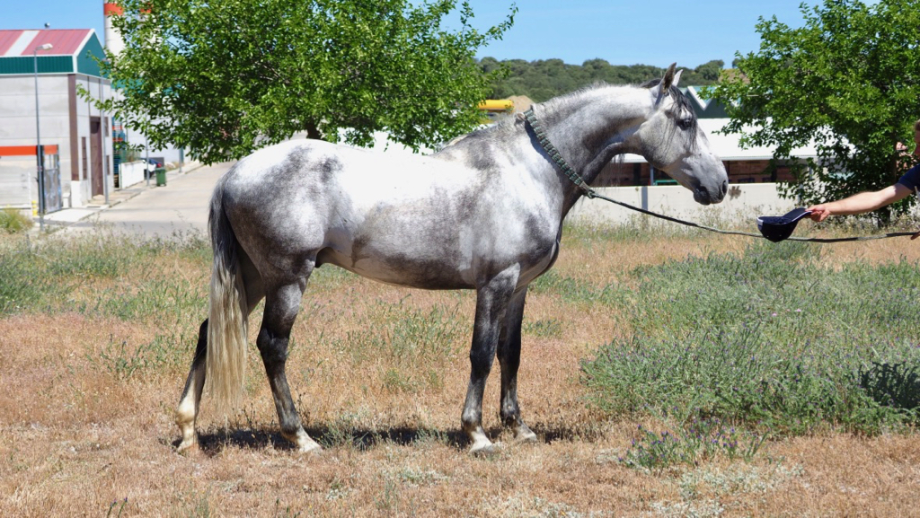 psl horses for sale
