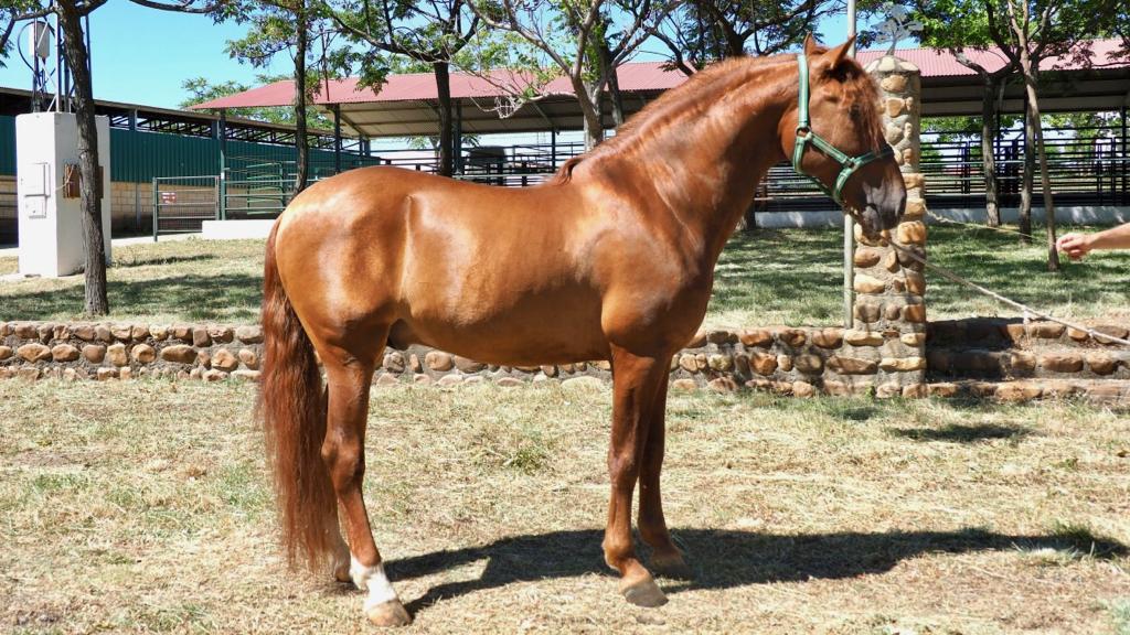 spanische Pferde zum verkaufen