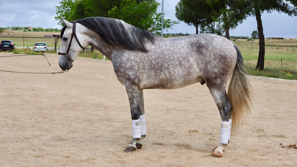 Beautiful Andalusian Horse for Pleasure. Cod 11328