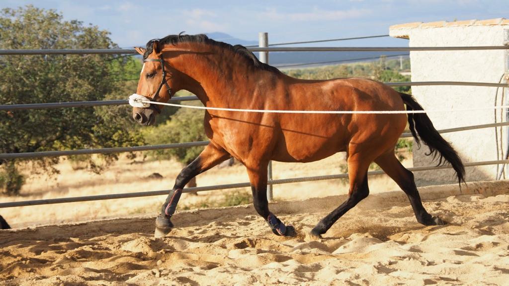 Impressive Lusitano Horse son of Zimbro. Cod 11855