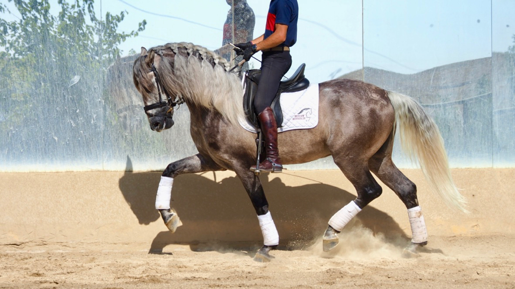 Grey PRE Horse piro free with quality for dressage. Cod 5411