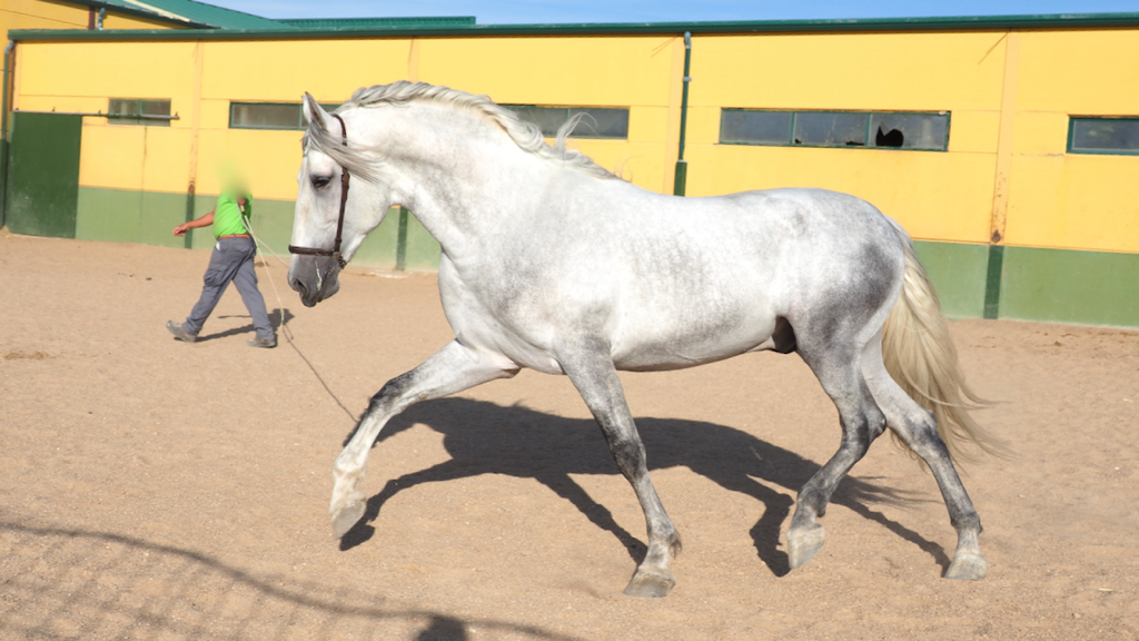 Andalusian Horse with Class and movements. Cod 11711