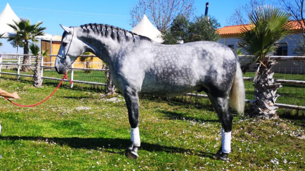 Andalusian Champion for Morphological Shows. Cod 11764