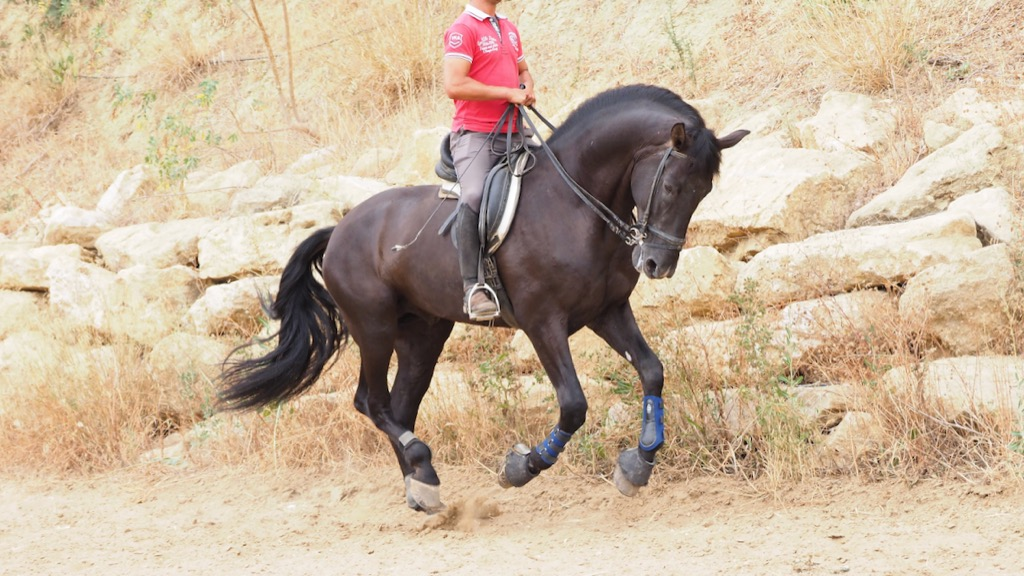 Black Andalusian Horse with 170 cm tall. Cod 12262