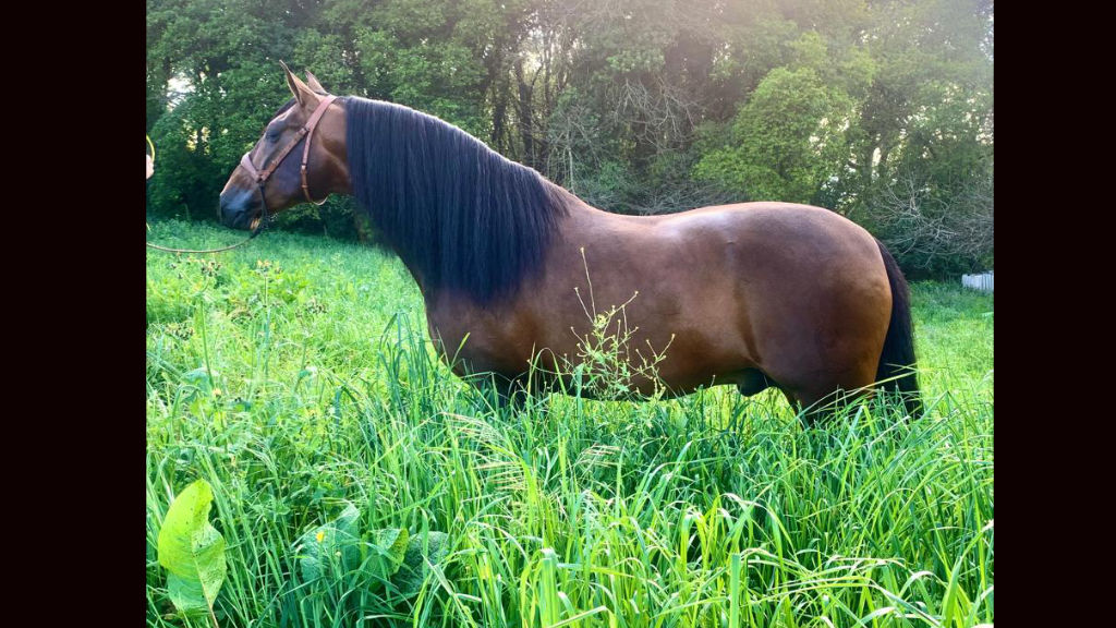 Bay Andalusian horse with Miura origins. Cod 12502