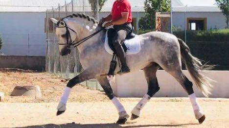 Andalusian Horse of Bohórquez´s piro free. Cod 12479