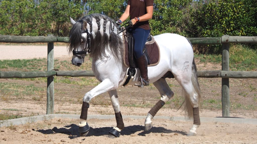 Andalusian Horse son of Yugo III valid for any rider. Cod 13290